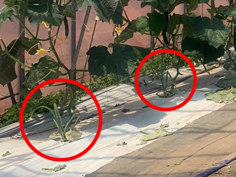 キュウリとコンパニオンプランツであるネギが植わっている様子です。