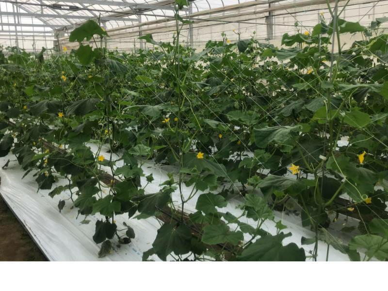 キュウリのハウス栽培の様子です。プロ農家はハウス栽培することが一般的です。