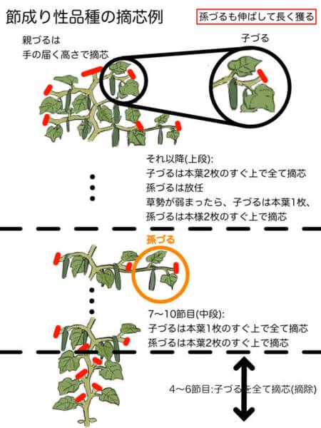 節成り性のキュウリの摘芯箇所を示した画像です。孫づるまで伸ばしてたくさんのキュウリを収穫することができます。
