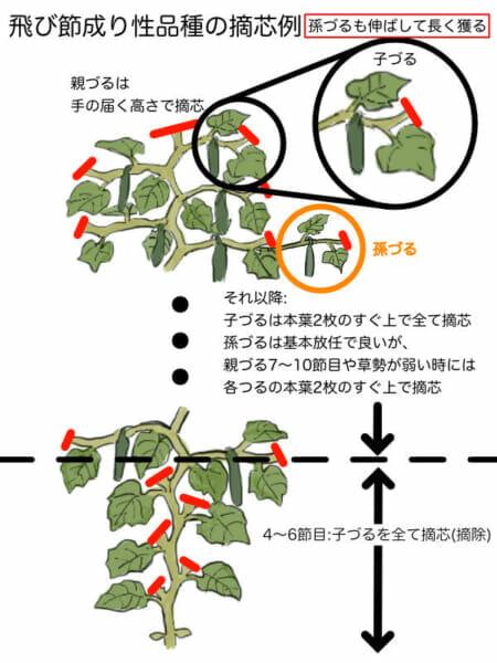 飛び節成り性のキュウリの摘芯箇所を示した画像です。孫づるまで伸ばしてたくさんのキュウリを収穫することができます。