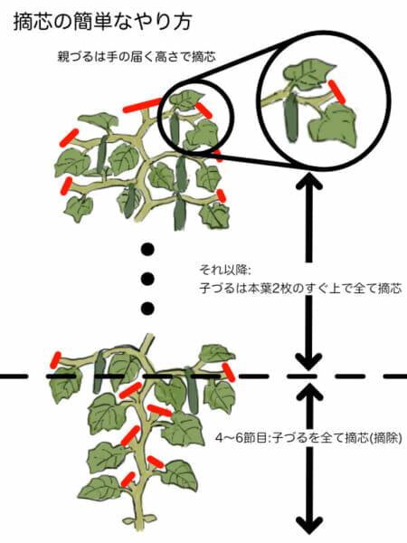キュウリの基本的な摘芯箇所を示した画像です。親づるは手の届く高さで摘芯して、子づるを伸ばしていきます。