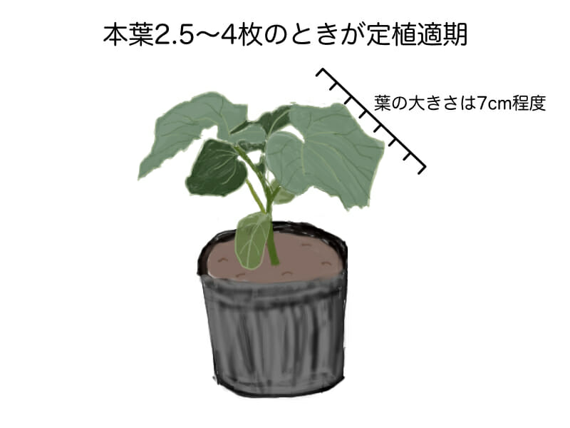 キュウリの定植適期を示した画像です。本葉が2.5枚〜4枚程度で葉の大きさが7cm程度のときが定植適期です。