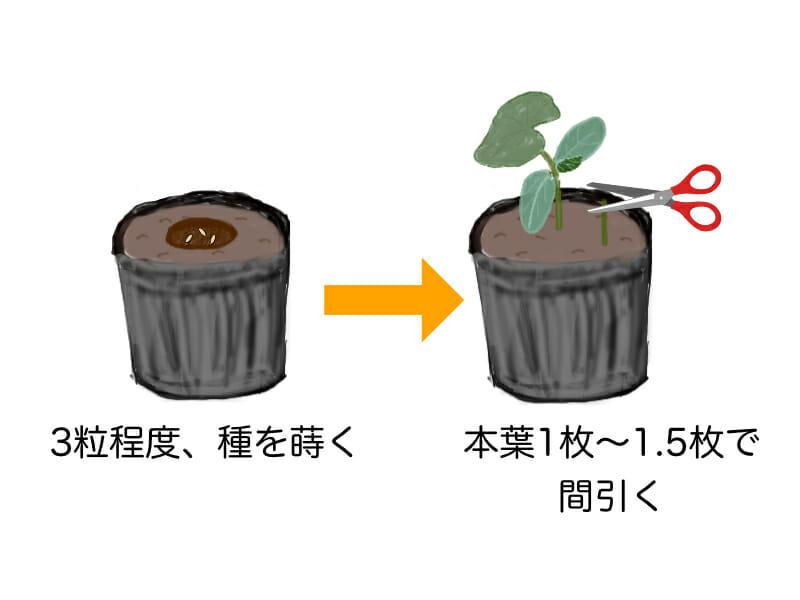 キュウリの種の播種と間引きのタイミングを表した画像です。キュウリの種は3粒程度まき、発芽したら本葉1枚〜1.5枚のときに間引きます。