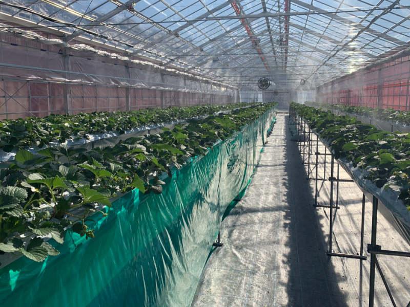 イチゴの高設栽培を実施している様子です。循環扇やカーテン、細霧冷房などが備わっています。