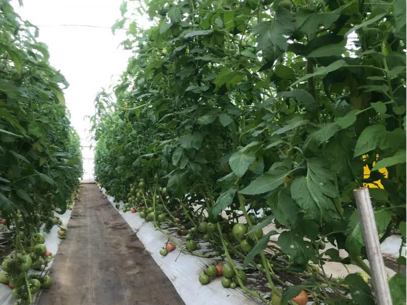 トマトのハウス栽培の様子です。すでに斜め誘引が行われ、多段穫りが可能となっています。