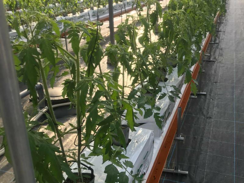 ヤシガラの隔離培地を使ったトマト栽培の様子です。