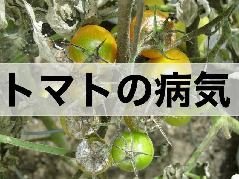 トマト・ミニトマトの病気に関する記事のバナーです。