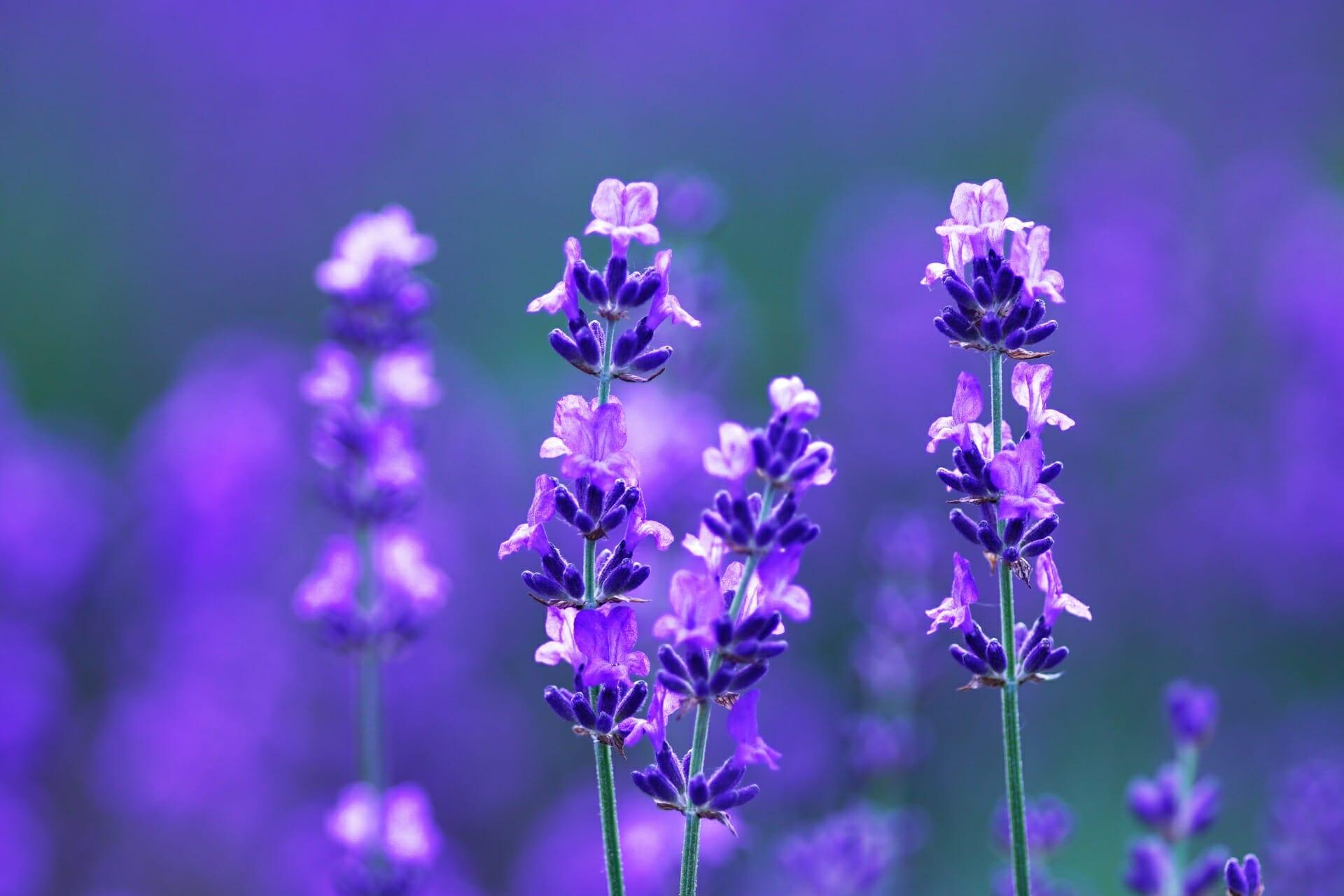 紫に咲き誇るラベンダーの写真