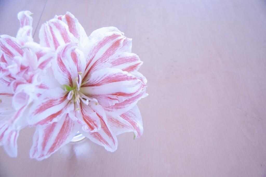 白桃色のアマリリス