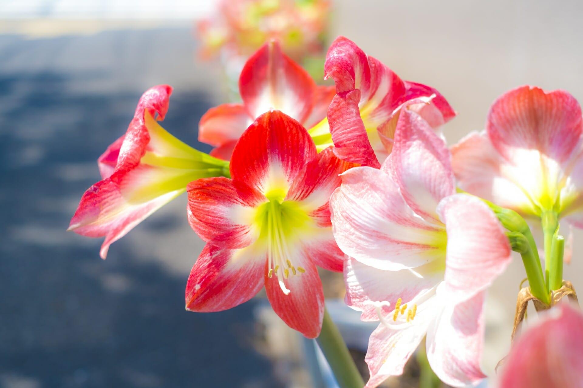 白桃色と赤の鮮やかなアマリリス