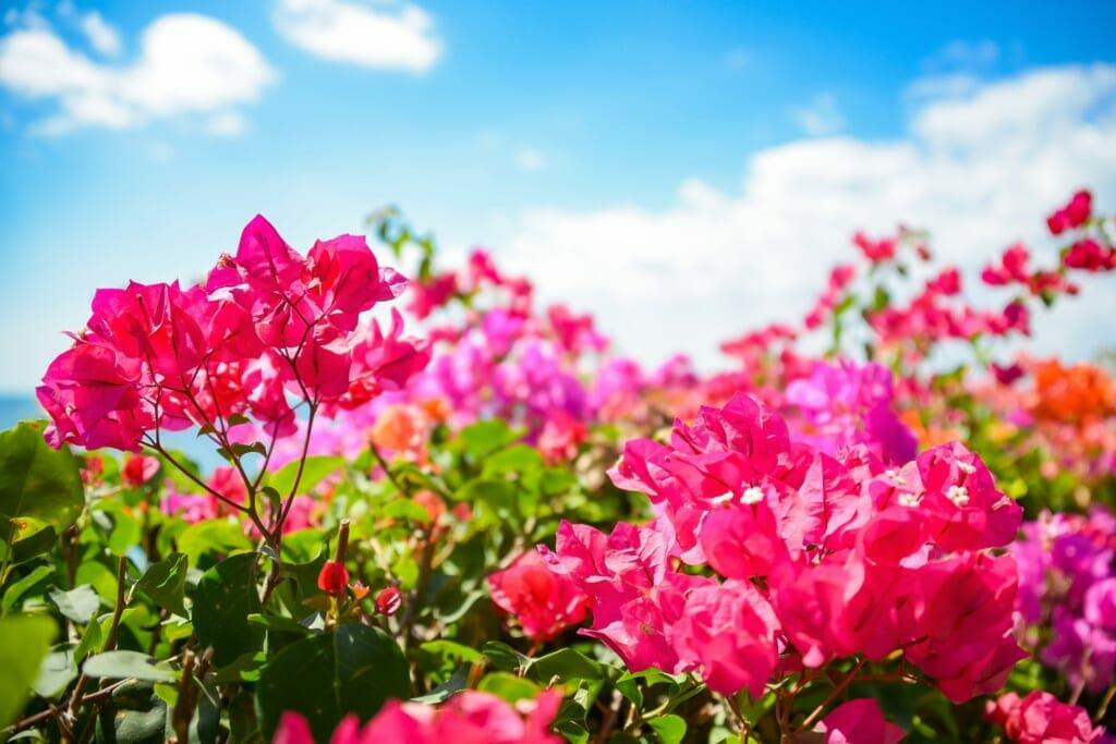 青空と赤、ピンクのブーゲンビリア(ブーゲンビレア)