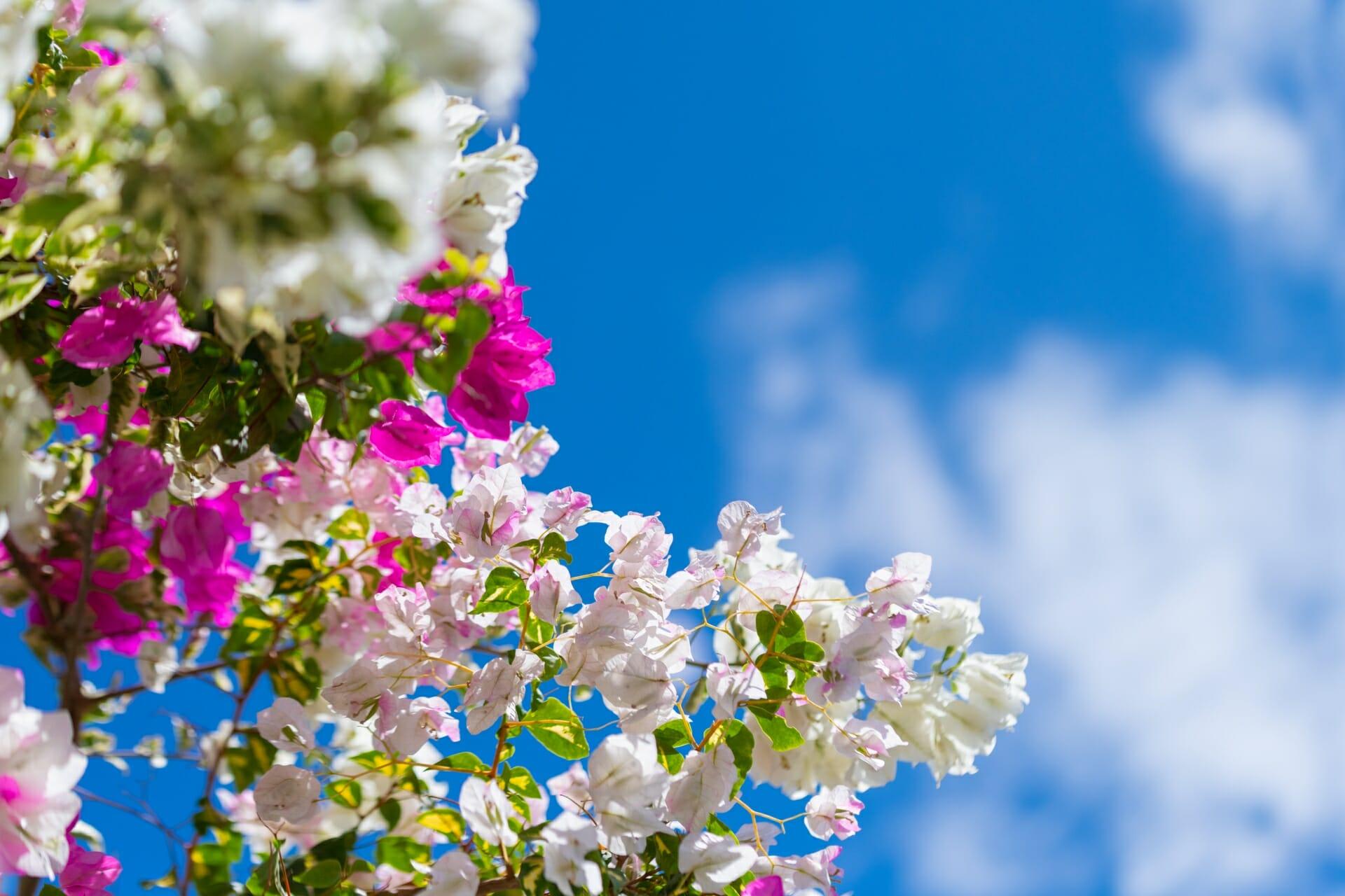 青空と白、ピンクのブーゲンビリア(ブーゲンビレア)