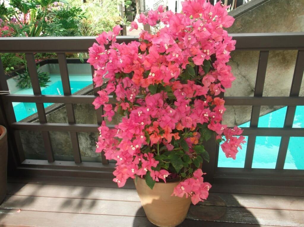 鉢植えのピンクのブーゲンビリア(ブーゲンビレア)