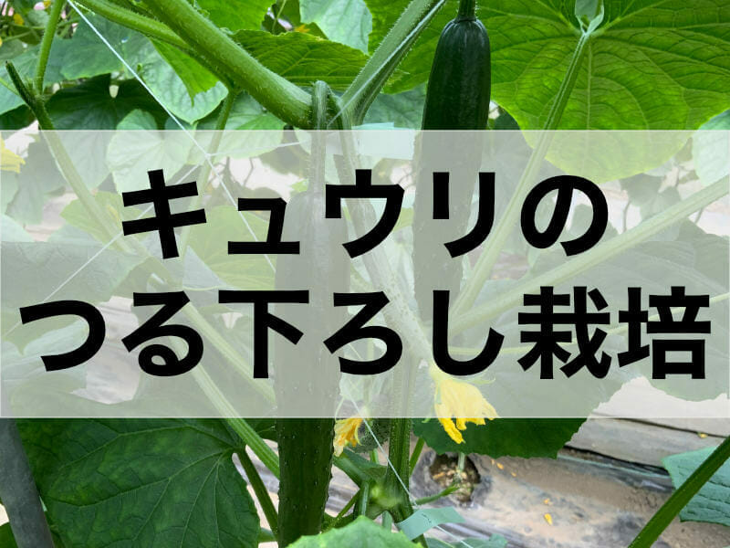 キュウリのつる下ろし栽培に関する記事のバナーです。