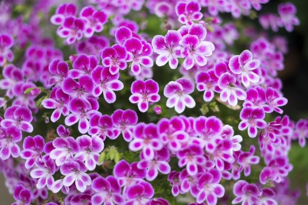 白、紫色のゼラニウム