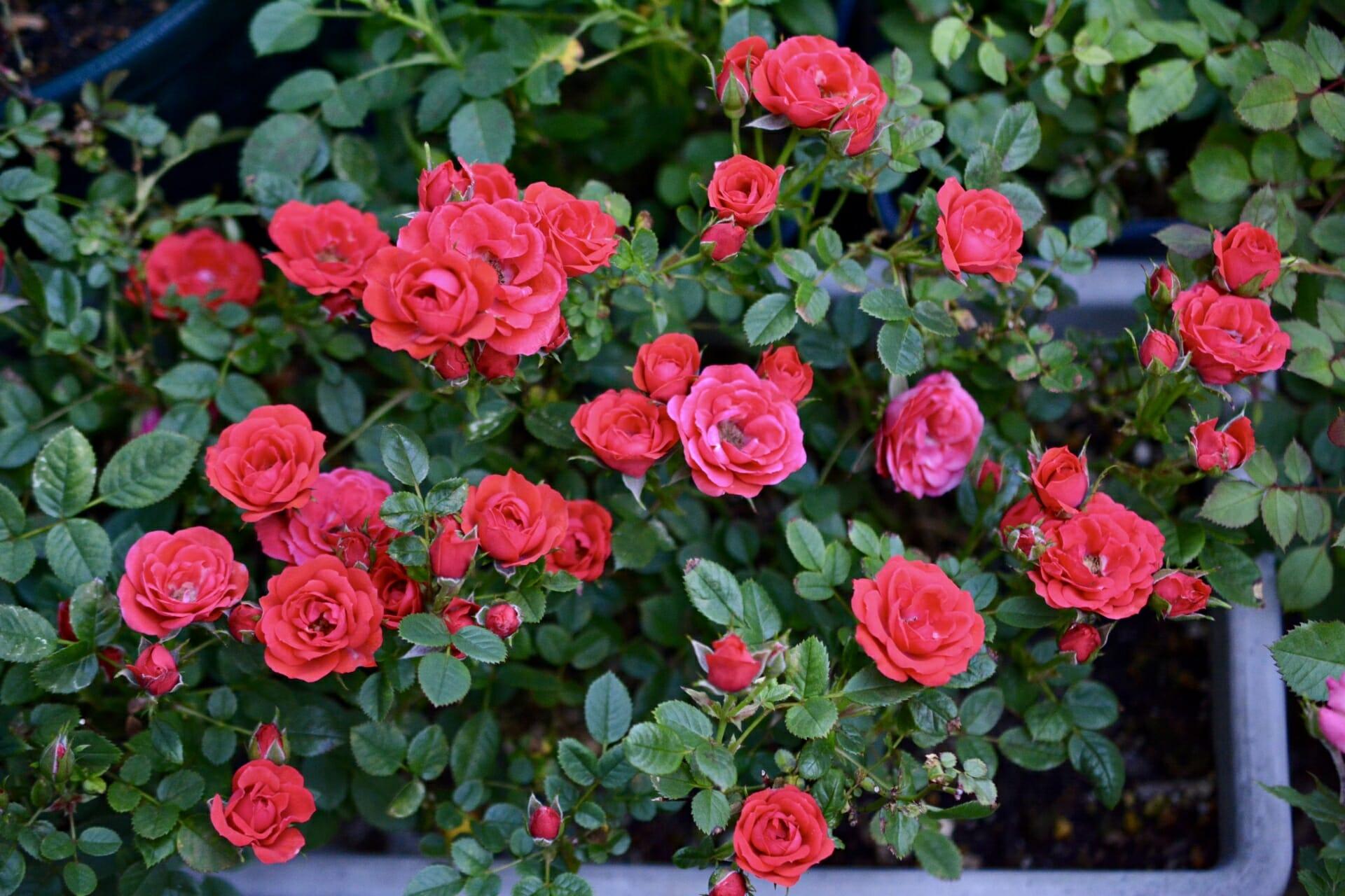 咲き誇るミニバラ