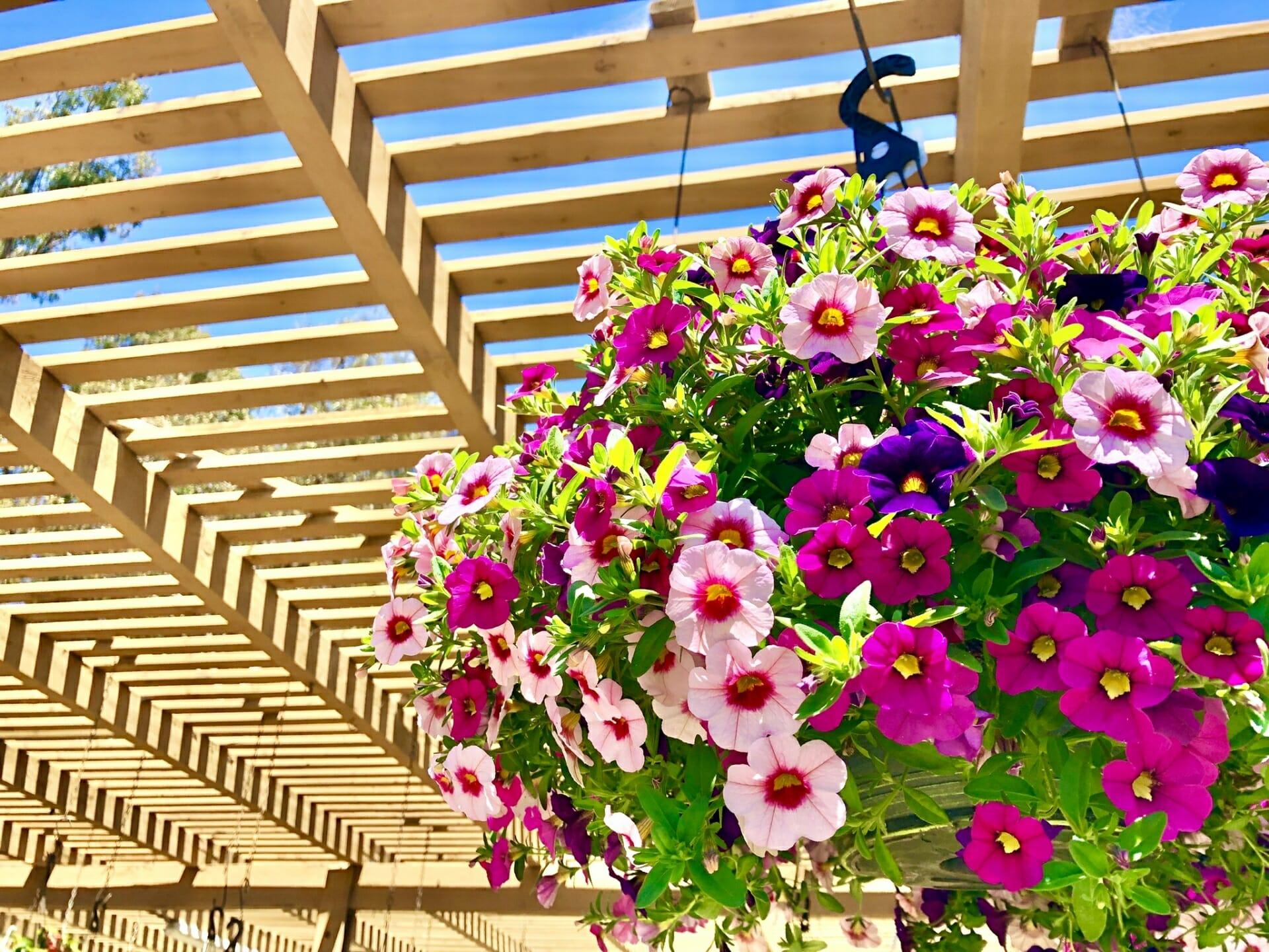 満開に咲き誇るペチュニア