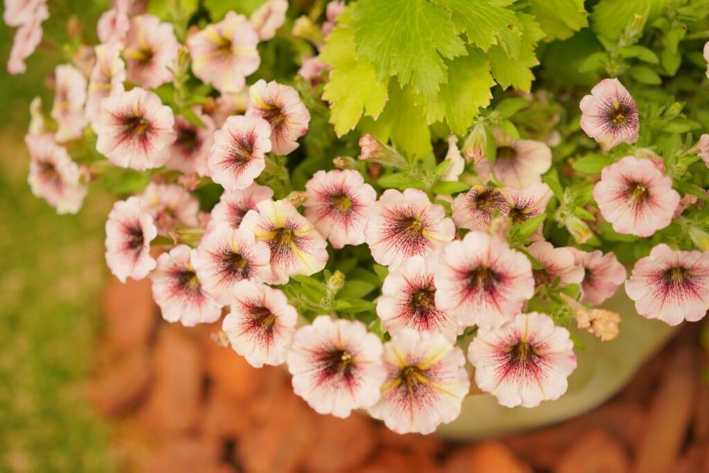 鉢植えのピンクのペチュニア