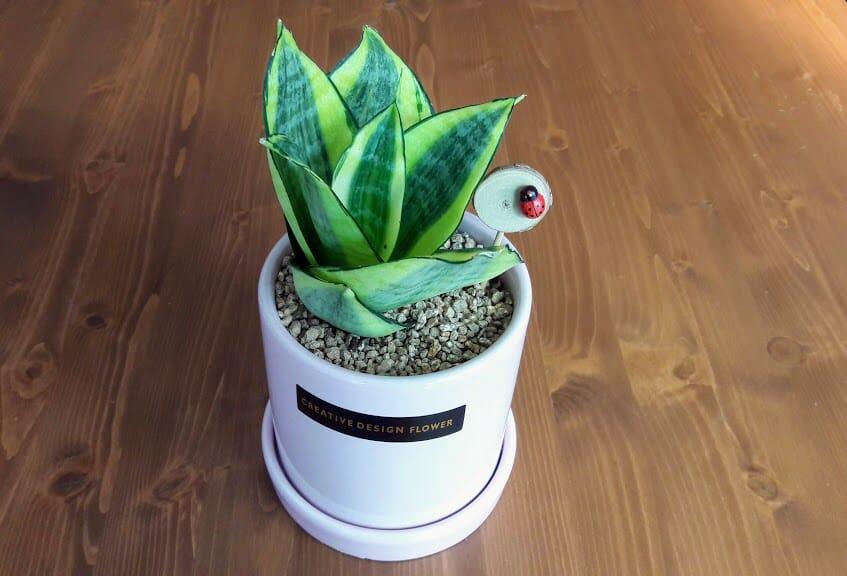 ハニー サンスベリアの鉢植え