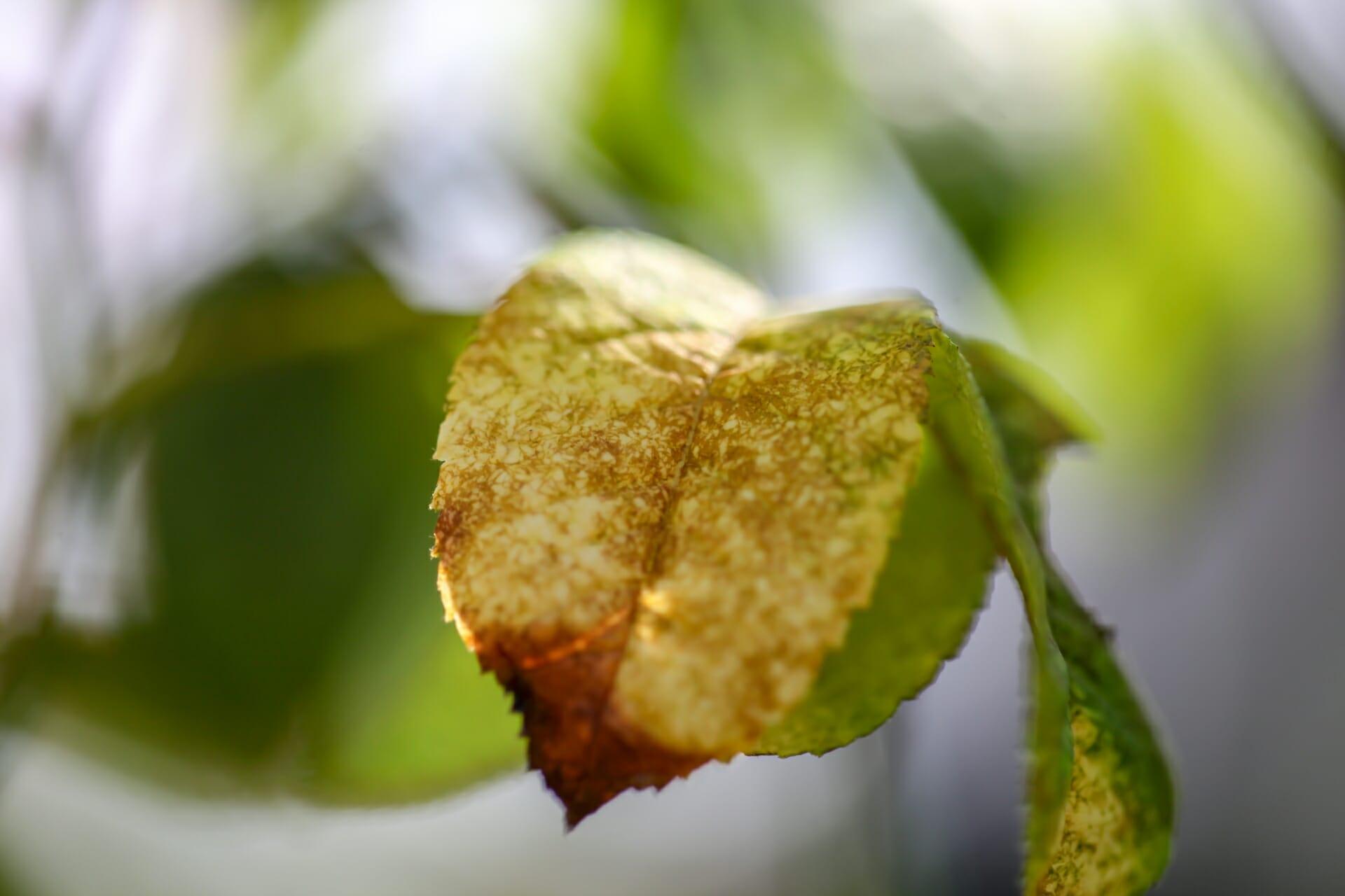 ハダニに食害され、褐色に変色した葉