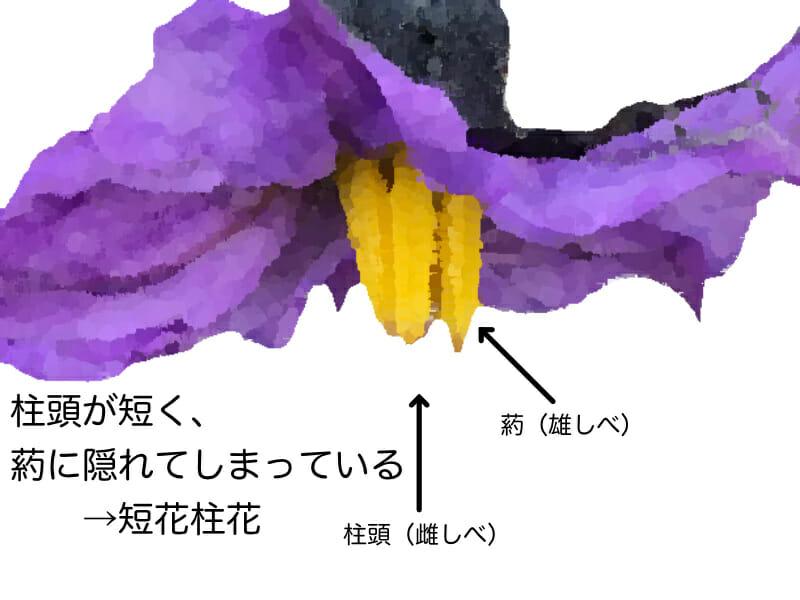 肥料不足のときに起こりやすい短花柱花を示したイラストです。ナスの花は肥料不足のときに柱頭が短くなり、葯に隠れてしまいます。