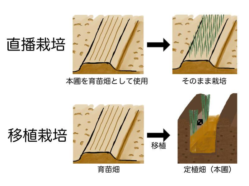 ネギ栽培の直播栽培(直まき栽培)と移植栽培の育苗畑、定植畑(本圃)の使い方の違いを示した画像です。