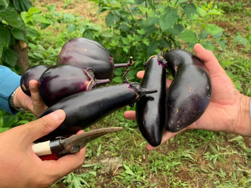 収穫したナスの画像です。