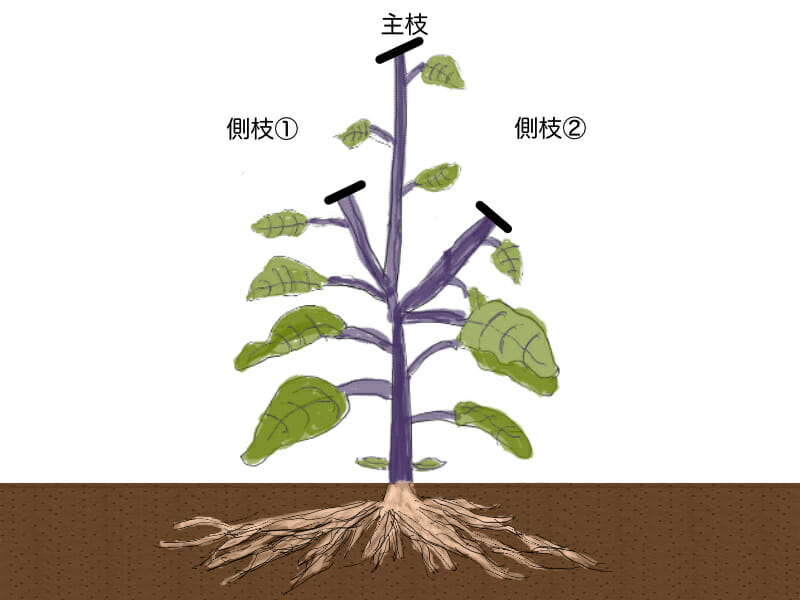 ナスの更新剪定(更新せん定)時に、枝を切り戻す場所を示したイラストです。