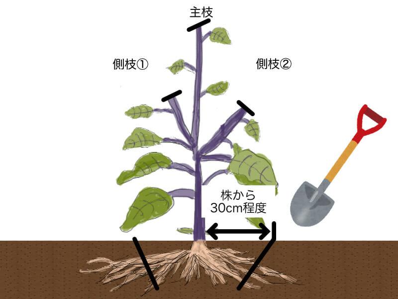 ナスの更新剪定(更新せん定)時に、根を切る場所を示したイラストです。