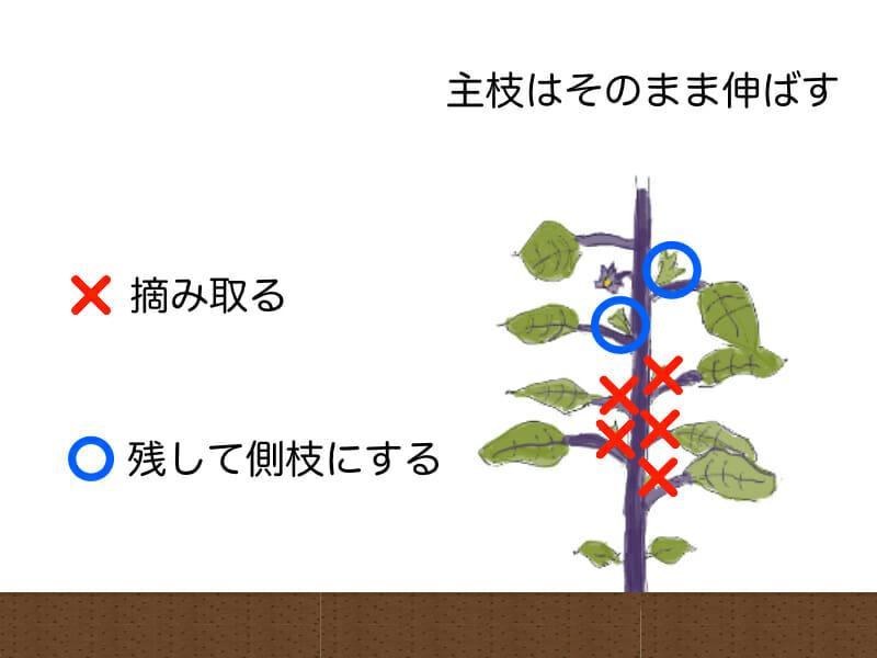 ナスの摘み取る脇芽を表した画像です。ナスの一番花の下の脇芽とその下の脇芽を側枝として残します。