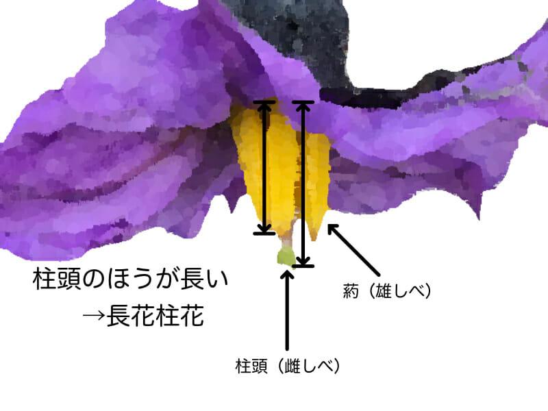 ナスの長花柱花を示したイラストです。葯(雄しべ)より柱頭(雌しべ)が長いことが特徴で、健全な育成を表す指標となります。