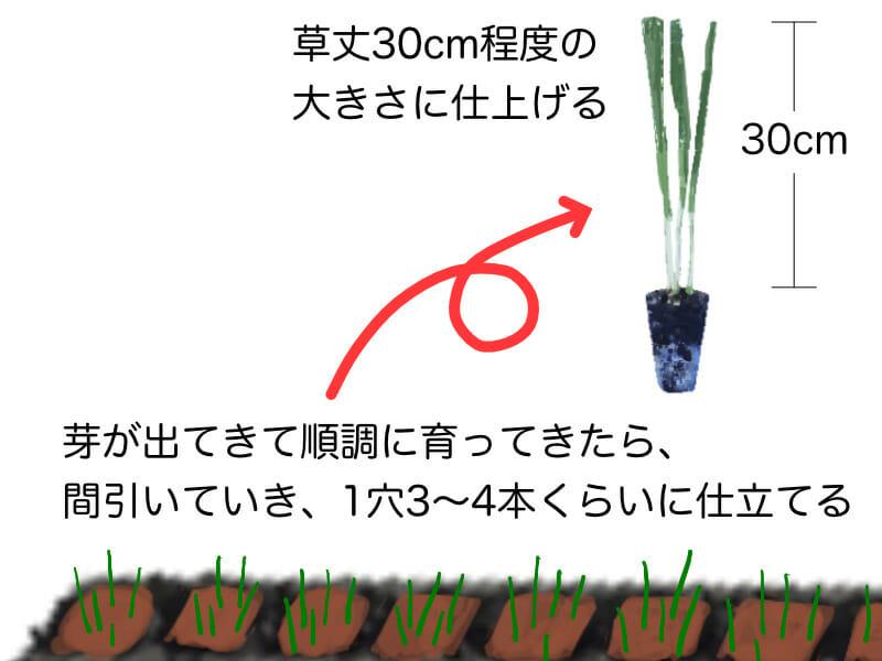 葉ネギ(九条ネギ・万能ねぎ)、根深ネギ(長ネギ)のセルトレイ(セルトレー)での育苗の方法を示した画像です。1穴3〜4本くらい残し、草丈が30cm程度の大きさになったら植え付けのタイミングです。
