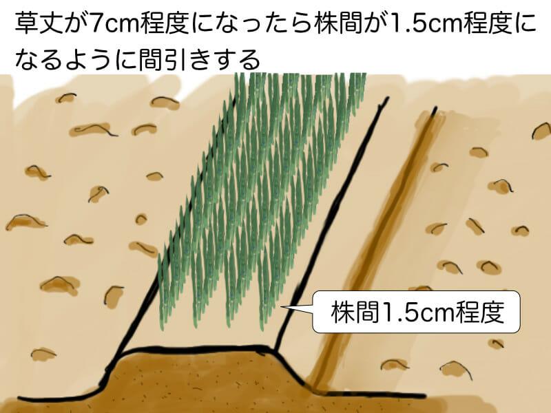 葉ネギ(九条ネギ・万能ねぎ)、根深ネギ(長ネギ)の育苗畑での育苗の際に、草丈が7cm程度になってきたら株間が1.5cm程度になるように間引きすることを示した画像です。