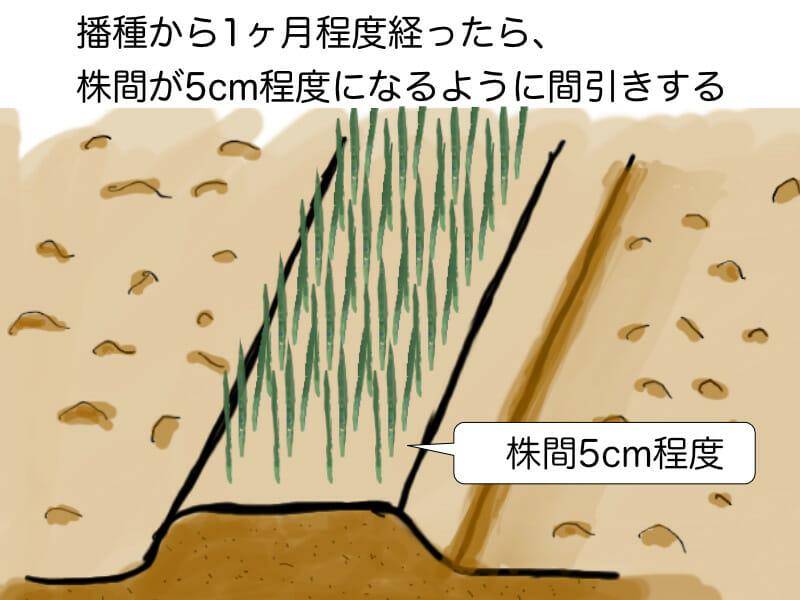 葉ネギ(九条ネギ・万能ねぎ)、根深ネギ(長ネギ)の育苗畑での育苗の際に、1ヶ月程度経ったら株間が5cm程度になるように間引きすることを示した画像です。
