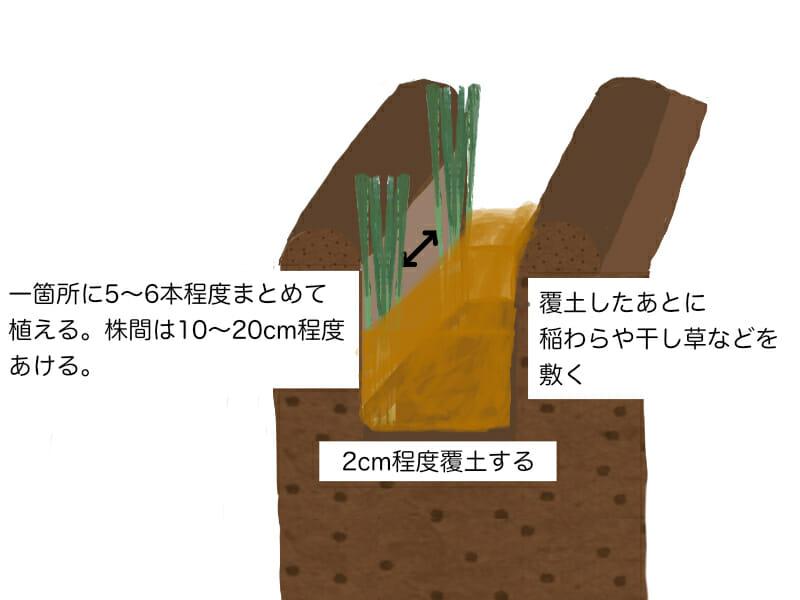 葉ネギ(万能ねぎ、九条ネギ)の植え付け方法を示した画像です。溝を掘って、葉ネギの場合は一箇所に5〜6本程度まとめて植えます。2cm程度覆土したあとは稲わらや干し草などを敷きます。