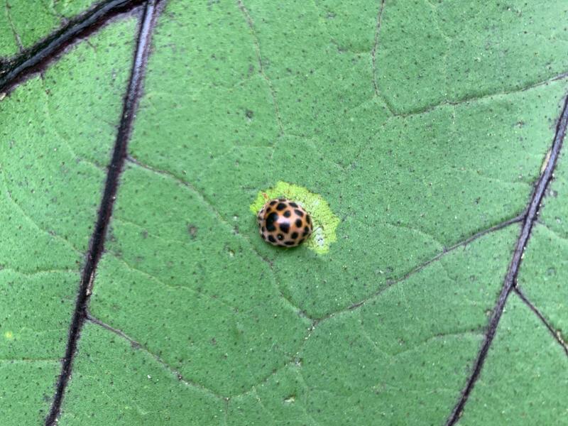 ナスの葉を食害する害虫ニジュウヤホシテントウの画像です。