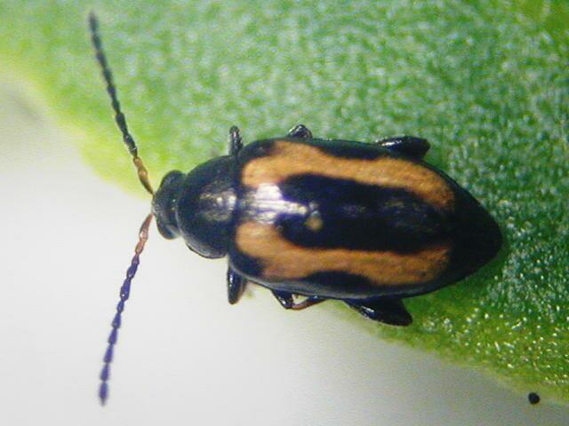 キスジノミハムシの成虫。左右の翅に黄褐色の帯状の斑紋がある。