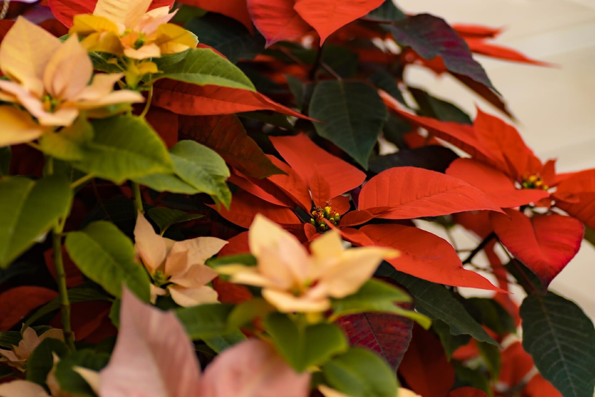 クリスマスの代名詞、様々な色のポインセチア