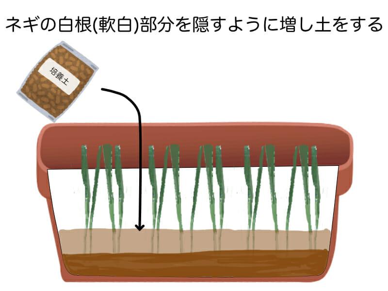根深ネギのプランター栽培における増し土の方法を示したイラストです。ネギの白根(軟白)部分が隠れるくらいまで培養土を入れます。