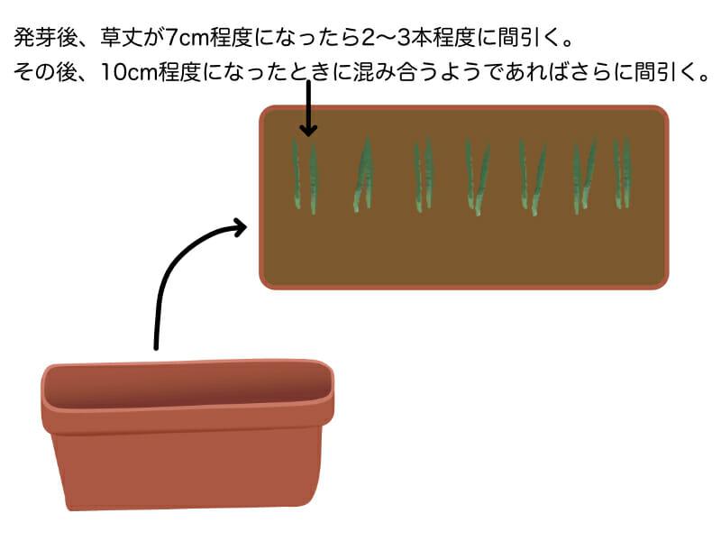 根深ネギのプランター栽培における間引きの方法を示したイラストです。草丈7cm程度くらいになったら一箇所につき2〜3本程度に間引きます。