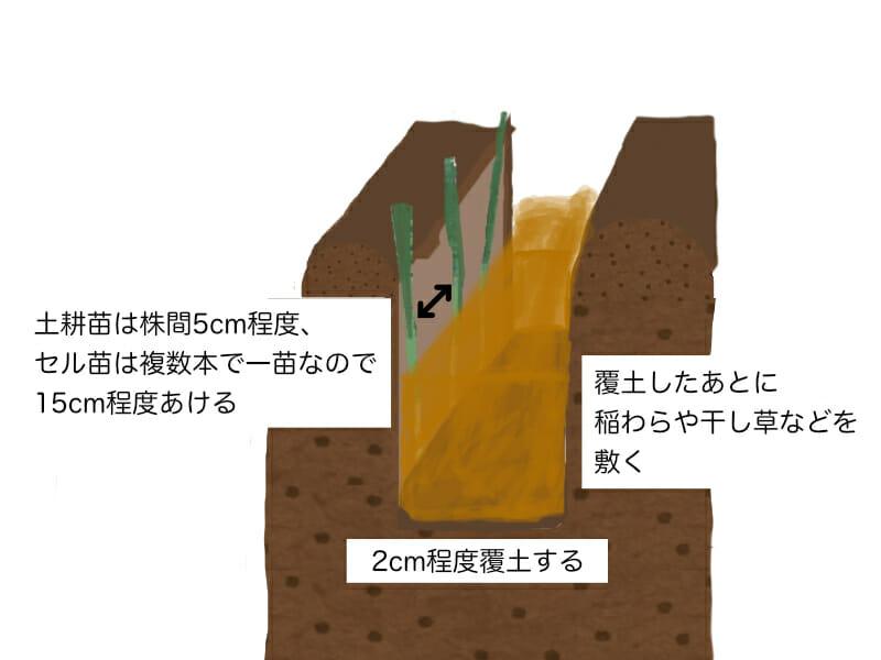 根深ネギ(長ネギ)の植え付け方法を示した画像です。溝を掘って、土耕苗の場合は株間5cm程度、セル苗の場合は15cm程度あけて植え付けます。2cm程度覆土したあとは稲わらや干し草などを敷きます。