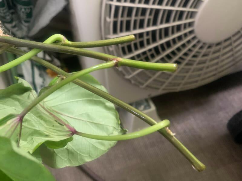 採苗したサツマイモの苗の切り口です。節と節の真ん中あたりを切ります。