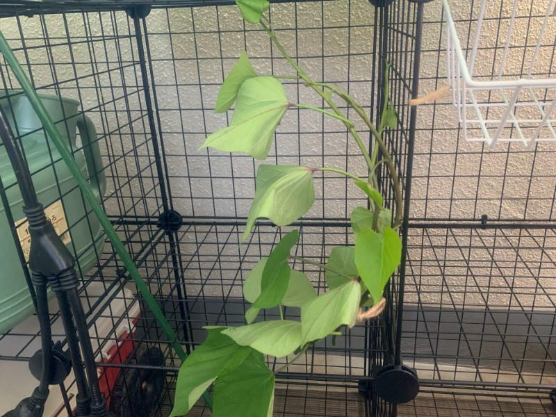 採苗したサツマイモの苗を立て掛けて数日保管する様子です。冷暗所で立てて保管します。