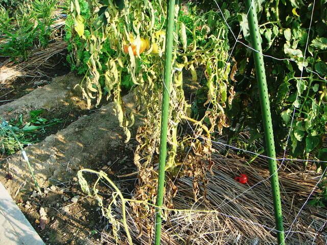 トマトの青枯病に侵された株の写真です。