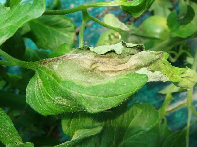 疫病に侵されたトマトの葉の写真です。