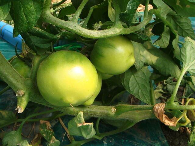 トマトの生理障害である先とがり果の画像です