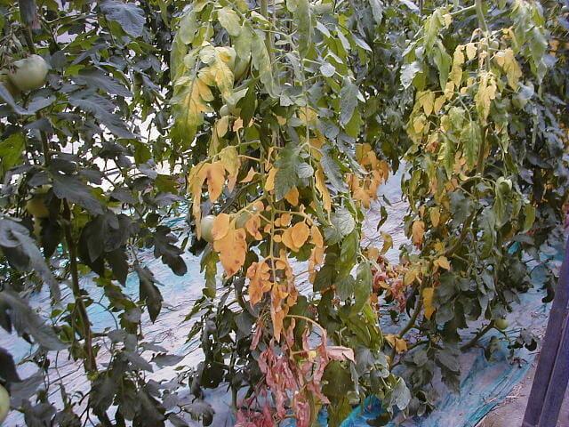 萎凋病に侵されたトマトの株の様子です。下部の葉から黄化します。