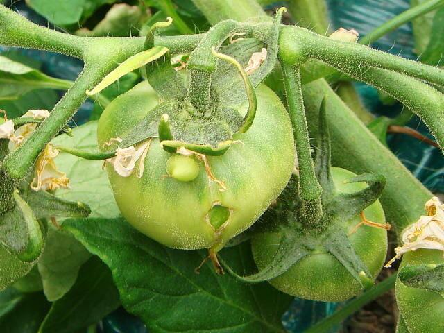 トマトの生理障害である窓あき果の画像です。