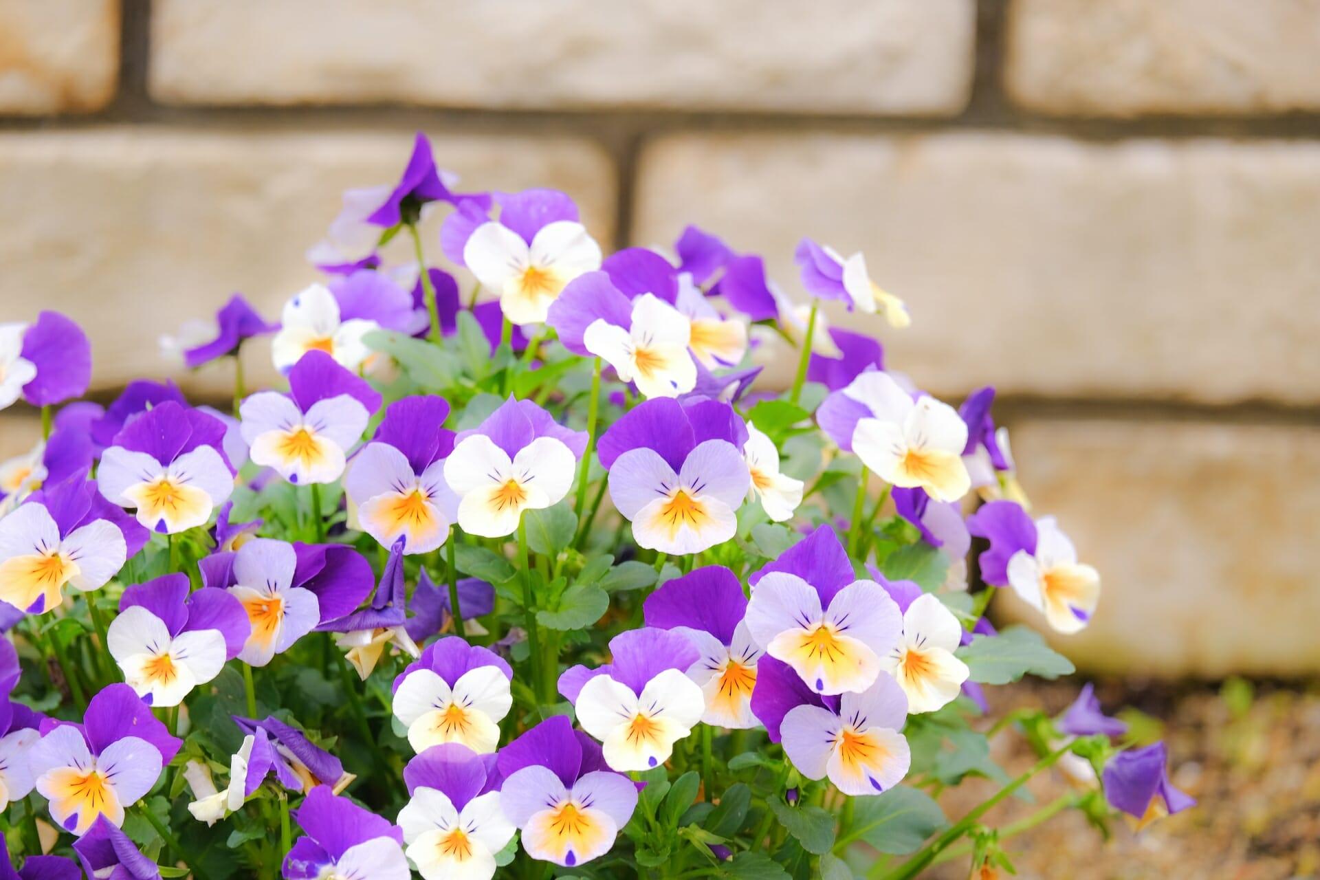 白と紫の花満開の綺麗なビオラ