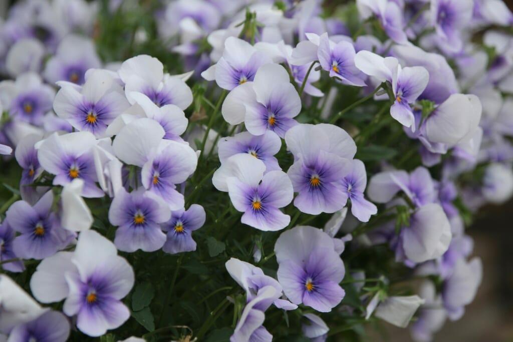 満開の白紫のビオラ
